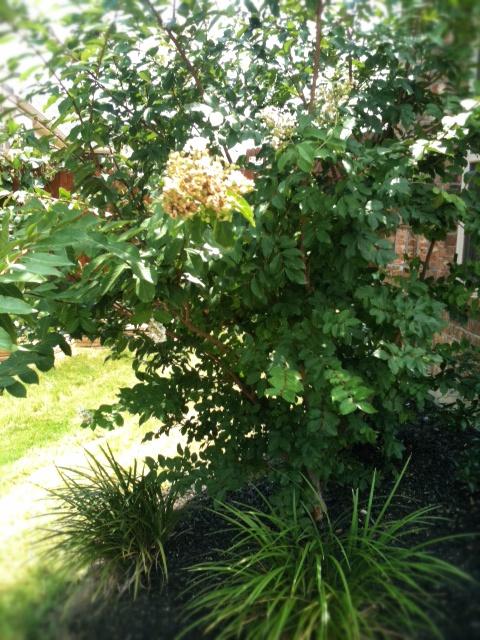 Crepe Myrtle before pruning
