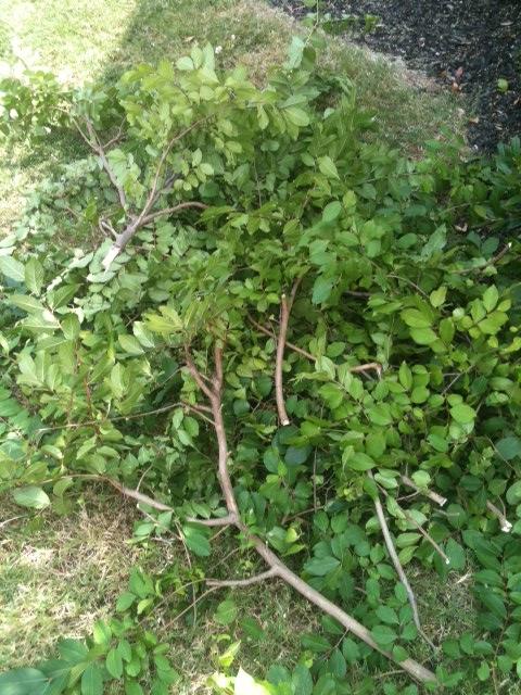 Crepe Myrtle pruned off