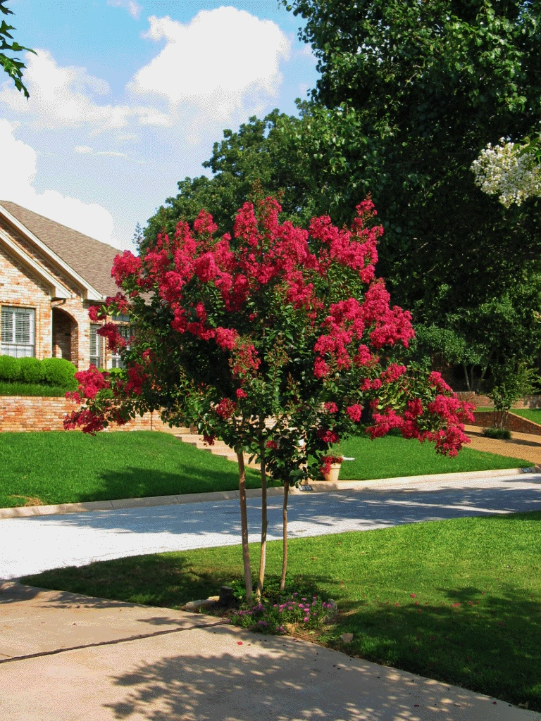 Crepe Myrtle bloom